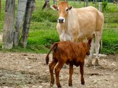 Vaca LIMBRA con cría Bonsmara